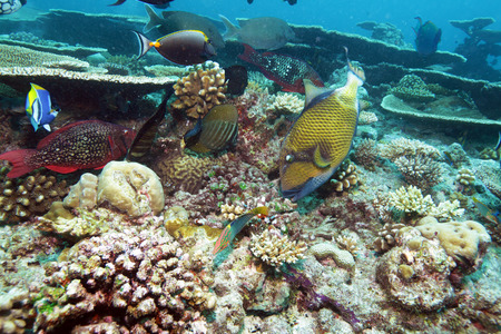 balistoides: The titan triggerfish (Balistoides viridescens), Maldives