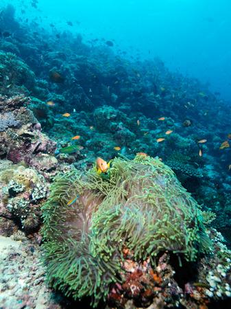 Yellowtail clownfish (Amphiprion clarkii) with sea anemone, Maldives photo