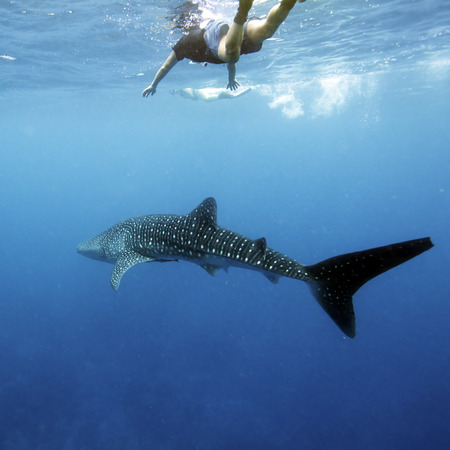Whale shark (Rhincodon typus) with divers, Maldives photo