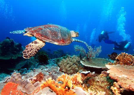 Swimming green turtle (Chelonia mydas), Bali, Indonesia photo