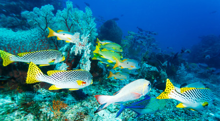 vittatus: Underwater Landscape with Sweetlips Fishes near Tropical Coral Reef, Bali, Indonesia