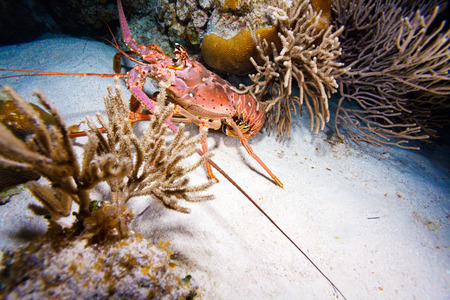 clawed: Red lobster in the wild, Cayo Largo, Cuba Stock Photo