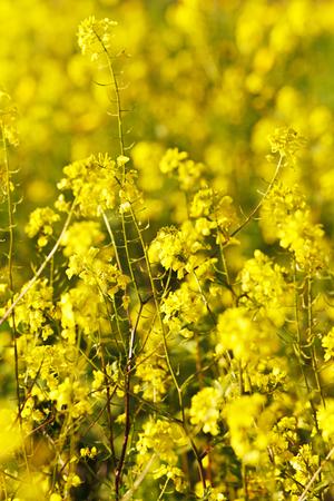 mustard field: Yellow Mustard Field Background