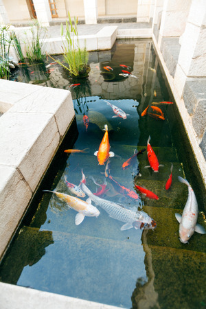 green fish: Koi Pond with Japan Colorful Carps