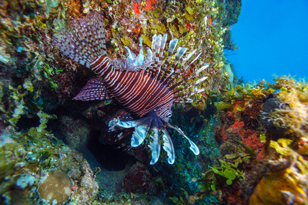 pterois: Lionfish (Pterois) near coral, Cayo Largo, Cuba