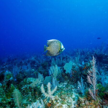 sea animals: Big French angelfish (Pomacanthus paru) near coral, Cayo Largo, Cuba Stock Photo