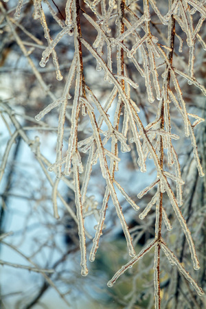 icy: Frozen Branches of Tree after Icy Rain