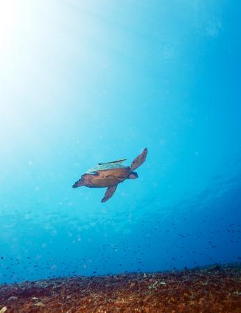 chelonia: Swimming green turtle (Chelonia mydas), Bali, Indonesia