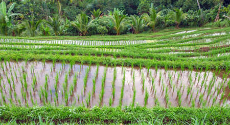 terraced field: Fresh Green Rice Plants on Terraced Field, Bali, Indonesia