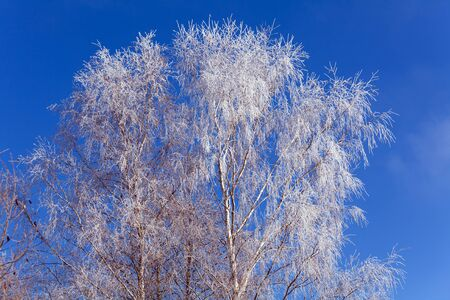 cold weather: Rime on a Tree at Sunny Day