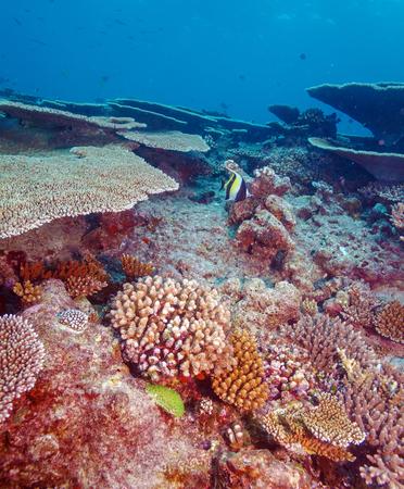 zanclus cornutus: Moorish Idol (Zanclus cornutus) near Coral Reef, Maldives