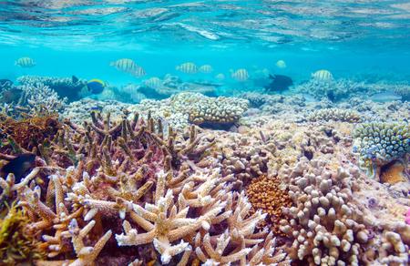 animales salvajes: El agua poco profunda Coral Reef, Maldives Foto de archivo