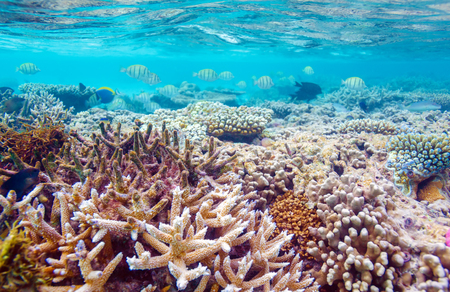 landscape background: Shallow Water Coral Reef, Maldives