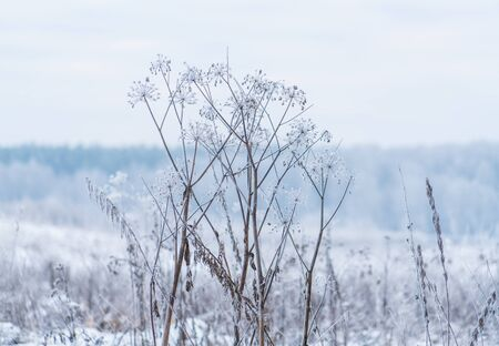 frozenned: Winter Scene with Dry Grass Covered by Snow