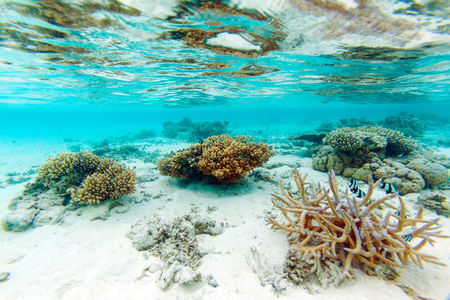 shallow water: Shallow Water Coral Reef, Maldives