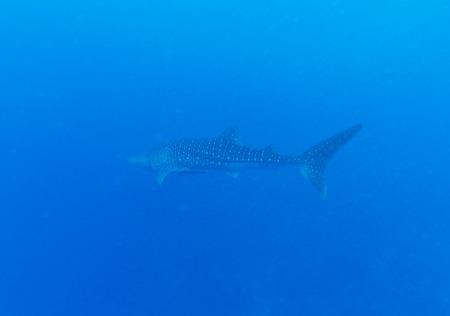 whale shark: Whale shark (Rhincodon typus), Maldives