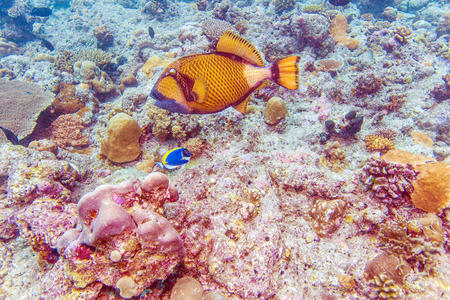 The titan triggerfish (Balistoides viridescens), Maldives