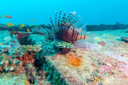 Diable firefish (Pterois miles) à proximité épave, Maldives