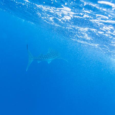 relaxation background: Whale shark (Rhincodon typus), Maldives