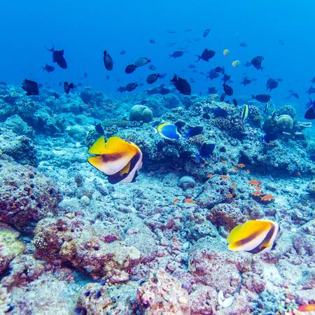 bannerfish: Masked bannerfishes (Heniochus monocera), Maldives