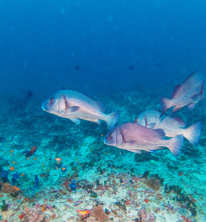 sweetlips: Group of Gibbus sweetlips (Plectorhinchus gibbosus) Fishes, Maldives