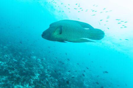 cheilinus undulatus: Napoleon Fish, Humphead wrasse (Cheilinus undulatus) in Ocean Blue, Maldives Stock Photo