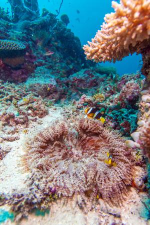clownfish: Clownfish de rabo amarillo (clarkii Amphipn) con la an�mona de mar, Maldivas