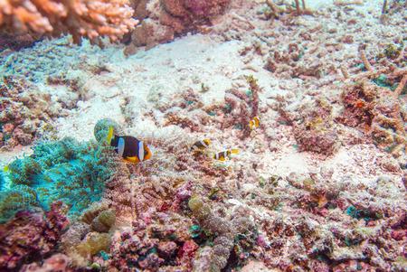 peces payaso: Clownfish de rabo amarillo (Amphiprion clarkii) con la an�mona de mar, Maldivas Foto de archivo