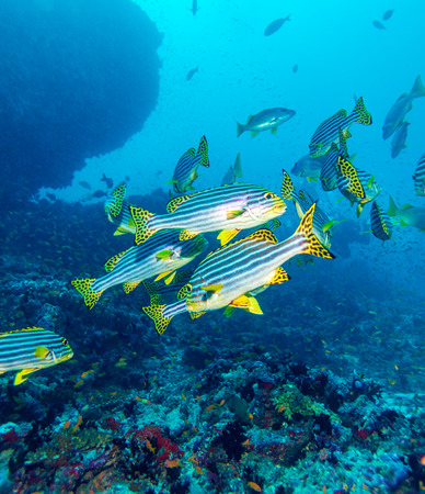 vittatus: Oriental sweetlips (Plectorhinchus vittatus), Maldives Stock Photo