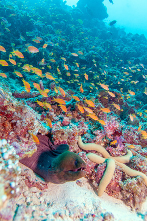 deep water: The giant moray (gymnothorax javanicus), Maldives Stock Photo