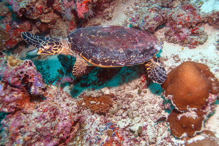 water turtle: The Hawksbill Turtle (Eretmochelys imbricata) near Corals, Maldives