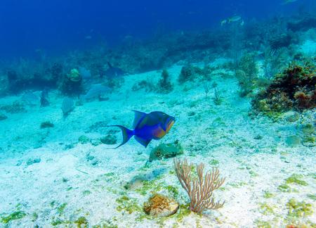 triggerfish: The Triggerfish (Balistoides), Cayo Largo, Cuba