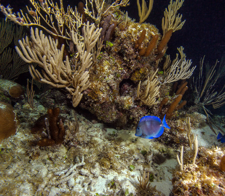 blue tang fish: Blue Surgeonfish (Acanthurus coeruleus) during night dive, Cuba