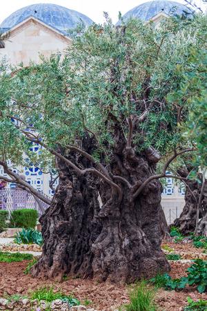 mount of olives: Gethsemane Garden at Mount of Olives, Jerusalem