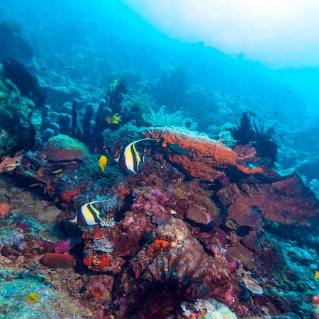 Moorish Idols and Sea Bottom of Ecosystem of Tropical Coral Reef