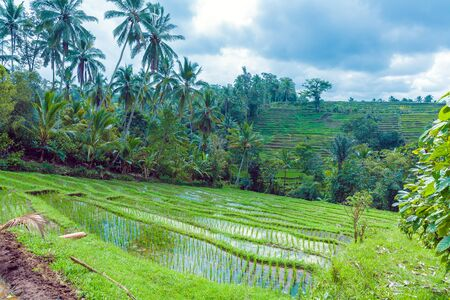 Landscape with Rice Field and Jungle in the Heart of Bali Island, Indonesia