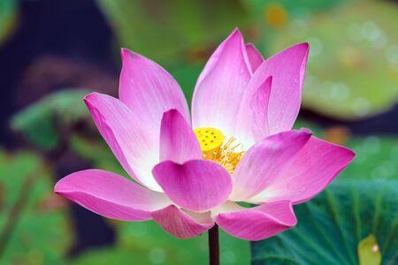 ubud: Lotus flower, Ubud, Bali, Indonesia Stock Photo