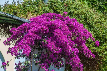 Red Blossoms of Bougainvillea spectabilis, Thessaloniki. Greece