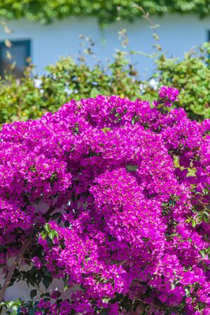 thessaloniki: Red Blossoms of Bougainvillea spectabilis, Thessaloniki. Greece