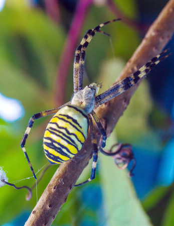 arachnida: The yellow striped venomous wasp spider (Argiope bruennichi) in european garden Stock Photo