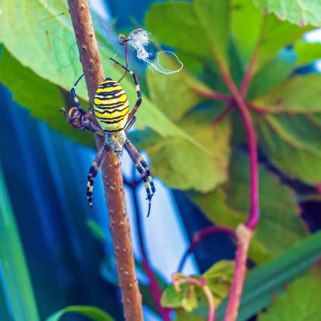 The yellow striped venomous wasp spider (Argiope bruennichi) in european garden Stock Photo