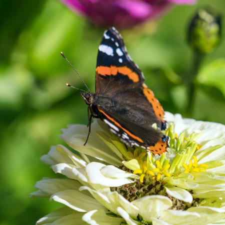 admiral: Red Admiral (Vanessa atalanta) butterfly on Zinnia elegans flowers at summer garden Stock Photo