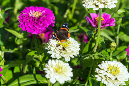 Red Admiral (Vanessa atalanta) butterfly on Zinnia elegans flowers at summer garden Stock Photo