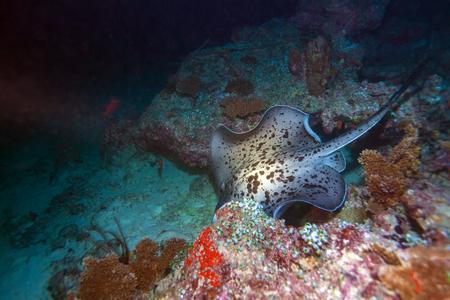 taeniura: The blotched fantail ray (Taeniura meyeni) during night dive, Maldives