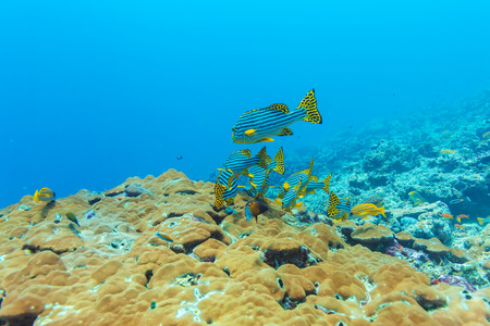 sweetlips: Oriental sweetlips (Plectorhinchus vittatus), Maldives Stock Photo