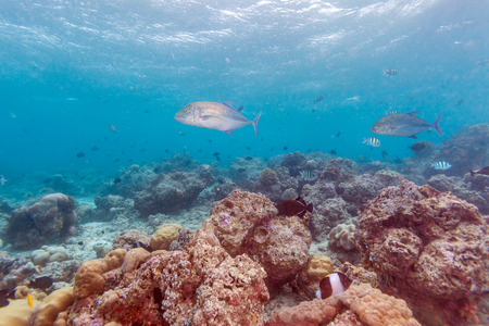 Group of  bluefin trevallies (Caranx melampygus) in shallow water of coral reef, Maldives Stock Photo