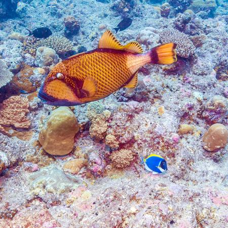 triggerfish: The titan triggerfish (Balistoides viridescens), Maldives
