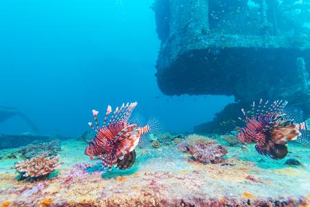 firefish: Devil firefish (Pterois miles) near ship wreck, Maldives Stock Photo