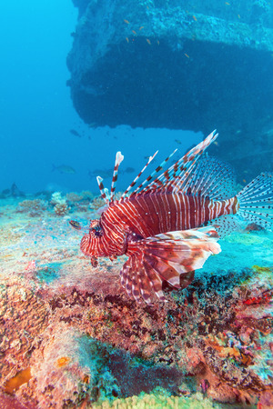 ship wreck: Devil firefish (Pterois miles) near ship wreck, Maldives Stock Photo