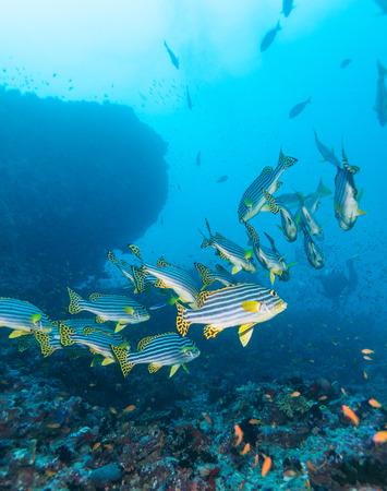 sweetlips: Big school of yellow Oriental sweetlips (Plectorhinchus vittatus), Maldives